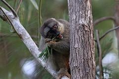 Lémur fauve (1796) / Eulemur fulvous / Common Brown Lemur (Laval Roy off until 03/27/2019) Tags: senourrissant comportement madagascar lemur endémique berenty andasibe lémuridés commonbrownlemur eulemurfulvous lémurfauve lavalroy