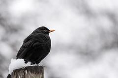 Blackbird in the snow (hjuengst) Tags: blackbird amsel winter winterbeauty december dezember snow schnee bokeh munich münchen turdusmerula turdidae