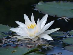 Water Lily (Marit Buelens) Tags: uk england cornwall garden tuin park botanical subtropical pond vijver water green white yellow leaf trebahgarden