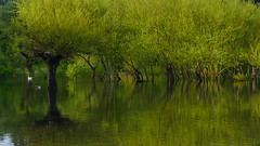 grün, grün, grün............... (marionkaminski) Tags: chile südamerika southarmerica pucon villarica amériquedusud lagovillarica see lago baum bäume trees arbres arbols spiegelung reflection réflection wasser water aqua grün green panasonic lumixfz1000 regióndearaucanía
