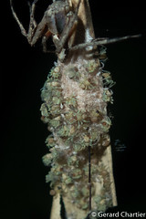 Lynx Spider (Oxyopidae) with spiderlings (GeeC) Tags: animalia arachnida araneae araneomorphae arthropoda cambodia kohkongprovince lynxspiders nature oxyopidae spiders tatai truespiders