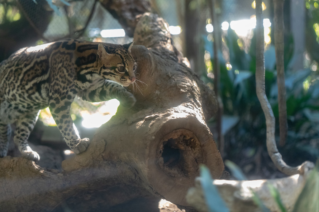 The World's Best Photos of animal and ocelot - Flickr Hive Mind