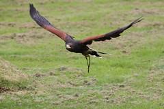 IMG_1421 (Stefan Kusinski) Tags: hemsley duncombe ncbp birdofprey