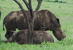 RHINO MOTHER AND BABY. BOTH TUSKLESS BECAUSE OF POACHERS.  TALA GAME RESERVE,  NEAR DURBAN,  SOUTH AFRICA. (vermillion$baby) Tags: talagamepreserve animal baby rhino