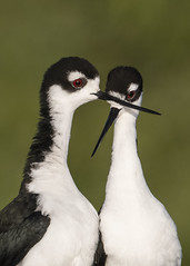 Tender Moment (PeterBrannon) Tags: bird blackneckedstilt florida himantopusmexicanus nature wadingbird wildlife courtship mating
