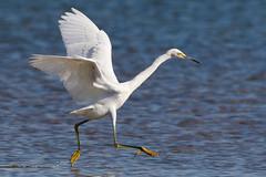 Snowy Egret (ru55ell14) Tags: egret snowyegret egrettathula sprucerun sprucerunreservoir nj newjersey bird birds njbirds newjerseybirds wildlife njwildlife newjerseywildlife