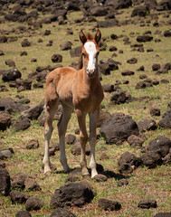 IMG_1084 (jaglazier) Tags: 121818 2018 animals children chile december easterisland grass horses mammals maungaterevaka paint pinto plants rocks terevaka babies colts copyright2018jamesaglazier cute fields foals landscapes mares mountains volcanicrock valparaisoregion