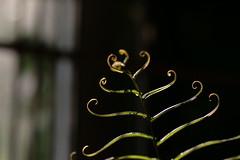 IMG_5949 (Nguyen Huy Phuong Nam) Tags: plants botanical light swirl leaf fern