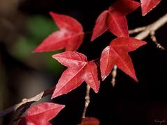 Red leaves (takapata) Tags: olympus em5 mzuiko 60mm f28 macro nature autmn leaves