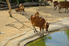 Chester Zoo Islands (1278) (rs1979) Tags: chesterzoo zoo chester islands banteng
