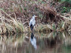 Gone fishing. (S.K.1963) Tags: derbyshire heron reflection pond lake hardwick hall bird olympus omd em1 mkii 40150mm 28 pro walk reeds