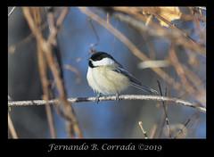 Black-capped Chickadee (5767) (fbc57) Tags: blackcappedchickadee poecileatricapillus birds chickadees paridae passeriformes nikond850 nikon500f56epfedvr colchester vermont