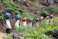 Prochainement dans nos tasses. (Jacques GUILLE) Tags: nuwaraeliya srilanka thé cueillette tea plantation camelliasinensis ceylan