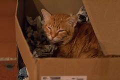 IMG_0770 Rubio, Mallorca (Fernando Sa Rapita) Tags: canon canoneos eos1300d animal cat gatito gato kitten mascota pet rubio