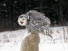 Robert Snowy Owl CRC IMG_3590 (Jennz World) Tags: ©jennifermlivick canadianraptorconservancy vittoria ontario canada snowyowl owl raptor winter snow