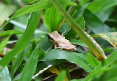 Pseudophilautus sp. (praveen.ap) Tags: pseudophilautus frog thattekad