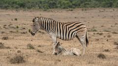 DSC08804 (Paddy-NX) Tags: 2019 20190109 addoelephantnationalpark africa sony sonya77ii sonyalpha sonyalphaa77ii sonysal70300g southafrica wildlife zebra
