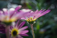 Much May Be Unclear... (JeffMoreau) Tags: magenta unclear dof depth field sony macro longwood gardens bokeh bokehlicious chester county a7ii