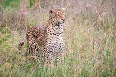 Leopard on Alert (helenehoffman) Tags: africa kenya pantheraparduspardus felidae mammal conservationstatusvulnerable cat feline africanleopard leopard bigcat maasaimaranationalreserve animal