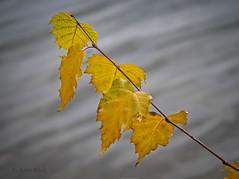 Herbst am See (AchimOWL) Tags: g9 blätter herbst postfocus flora autumn outdoor natur nature wasser see owl