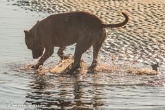 DSC03943 (RCB4J) Tags: ayrshire ayrshirecoast clydecoast firthofclyde irvinebeach nature rcb4j ronniebarron scotland sigma150500mmf563dgoshsm sonyilca77m2 art dobermanterrier dogs photography sand sea siameselurcher trailhound wildlife