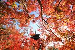 Autumn red in Kyoto (Teruhide Tomori) Tags: 東寺 京都 洛南 日本 もみじ 紅葉 秋 庭園 五重塔 教王護国寺 古寺 afternoon kyoto japan japon toji pagoda garden autumn momiji kayedemaple architecture construction temple tree red sky