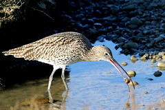 Curlew-7D2_0478-001 (cherrytree54) Tags: wader bird wading curlew rye harbour canon sigma 7d 150600