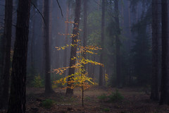Fabled light (Petr Sýkora) Tags: les mlha podzim nature autumn fall forest fog mist tree