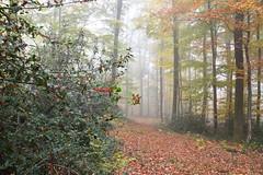 40 jours plus tôt (Excalibur67) Tags: nikon d750 sigma globalvision art arbres trees forest foréts automne autumn brume mist paysage landscape 24105f4dgoshsma nature houx