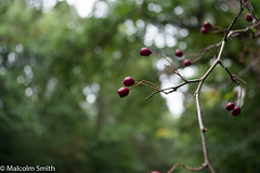 Last Berries (M C Smith) Tags: pentax k3 eppingforest forest berries late red white yellow green bokeh branches