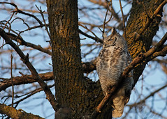 Great Horned Owl...#3 (Guy Lichter Photography - 4.4M views Thank you) Tags: canon 5d3 canada manitoba winnipeg wildlife animals birds owl owls greathornedowl male