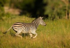 Zebra at the gallop (selvagedavid38) Tags: zebra gallop okavango delta safari africa horse panning dof zoom stripes black white wildlife nature mammal animal run running