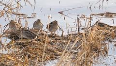 Six Snipe (dr brewbottle) Tags: snipe bird marsh water waterbird wader chewvalleylake lake