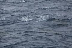 IMG_0345 (y.awanohara) Tags: humpbacks humpbackwhales whales whale southgeorgia scotiasea january2019 wildlife cetacean
