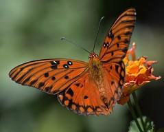 Lantana Landing (ACEZandEIGHTZ) Tags: closeup nikon d3200 orange gulf fritillary agraulis vanillae insect flying winged coth alittlebeauty coth5 sunrays5