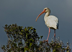 White Ibis (Paul. (mp13 nhnc)) Tags: ibis americanwhiteibis outerbanks northcarolina bodieisland waterfowl avis nikond40 mywinners