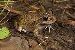 Long-footed Frog (Cyclorana longipes) (Jordan Mulder) Tags: long footed frog cyclorana longipes wildlife amphibian northern territory