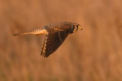 Kestrel - Falco tinnunculus (colinstone1) Tags: sunset fens nikond500 kestrel burwellfen