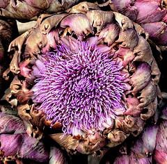 "an artichoke ""macro monday"" (petermüller21) Tags: artichoke macromonday vowel gemüse 2018 lila"