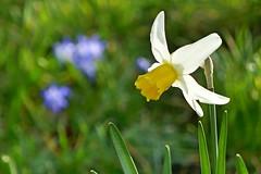 P1150395 (harryboschlondon) Tags: plantstreesandflowers naturephotography nature botanical botanicalphotography england englandphotography flowers flowersphotography harrybosch harryboschflickr harryboschphotography harryboschlondon march2019 march 2019 18thmarch2019 forbury mauve yellow