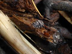 Beauty in the Bush 3 (tessab101) Tags: spiders arachnids spider arthropods blue mountains nsw australia jumping jumper salticidae salticid