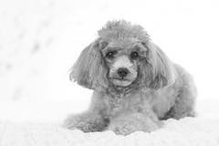 Tina-LR-DSC_2802-2 (studiofuntas) Tags: プードル トイプードル ティーカッププードル poodle toypoodle teacuppoodle モノクローム monochrome 犬 dog pet ペット ロケーション撮影 リクエスト撮影 locationphoto locationshooting