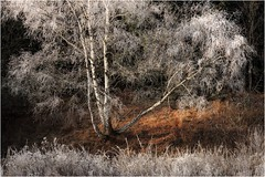 Standfest (linke64) Tags: thüringen deutschland germany natur landschaft reif rahmen bäume birken baum birke wald winter gras