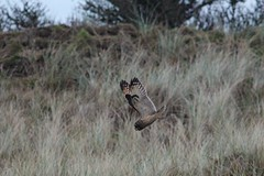 IMG_1860 (LezFoto) Tags: shortearedowl asioflammeus forviennr aberdeenshire scotland canoneos700d sigma 700d canon 120400mmf4556dgapooshsm digitalslr dslr canonphotography sigmalens strigiformes birdofprey raptor
