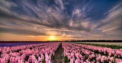 If you'll look close you'll see some tulip-y interlopers. (Alex-de-Haas) Tags: 11mm adobe blackstone d850 dutch hdr holland irix irix11mm irixblackstone lightroom nederland nederlands netherlands nikon nikond850 noordholland photomatix asparagaceae beautiful beauty bloem bloemen bloementeelt bloemenvelden cirrus floriculture flower flowerfields flowers hyacint hyacinten hyacinth hyacinths hyacinthus hyacinthusorientalis landscape landschaft landschap lente lucht mooi polder skies sky spring sun sundown sunset zonsondergang
