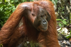Big Man (Imagemistress) Tags: orangutang borneo indonesia kalimantan nikon d500