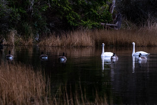 2 Swans, 5 Ducks, 1 Racoon. This is a shot I didn't know I got until after I got home and began my edits. I was shooting the swans floating around with the ducks but never saw Rocky Racoon lying in wait in the brush.
