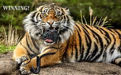 Winning (Lee Mac Photo) Tags: tiger with camera winning funny bengal nikon strap