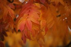November - not only grey (*Kicki*) Tags: göteborg sweden autumn ffp 50mm colour orange leaves tree colourful bokeh nature gothenburg botaniska garden