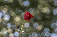 Roses (Torok_Bea) Tags: roses rózsa romantic rose redflower rosas macro macroflowers manualfocus trioplan trioplanbokeh trioplan100mm meyeroptik meyeroptikgörlitz meyeroptiktrioplan meyeroptikgörlitztrioplan nikon nikond7200 nikond flowers flower 100mm